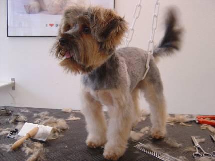 Haare schneiden im Hundesalon Dog's Beauty in München
