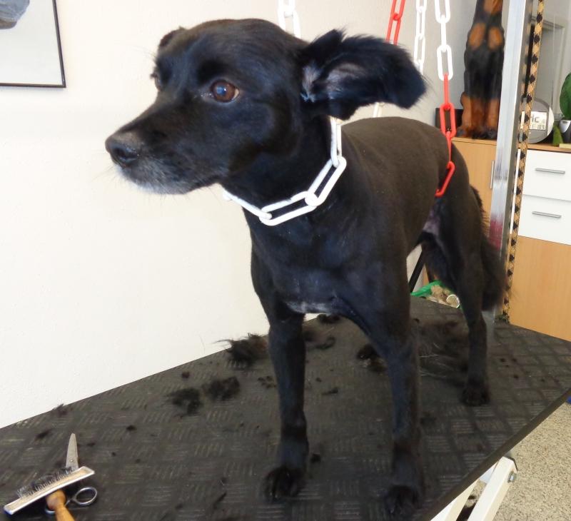 Hundehaarschnitt im Hundesalon Dog's Beauty in München-Schwabing